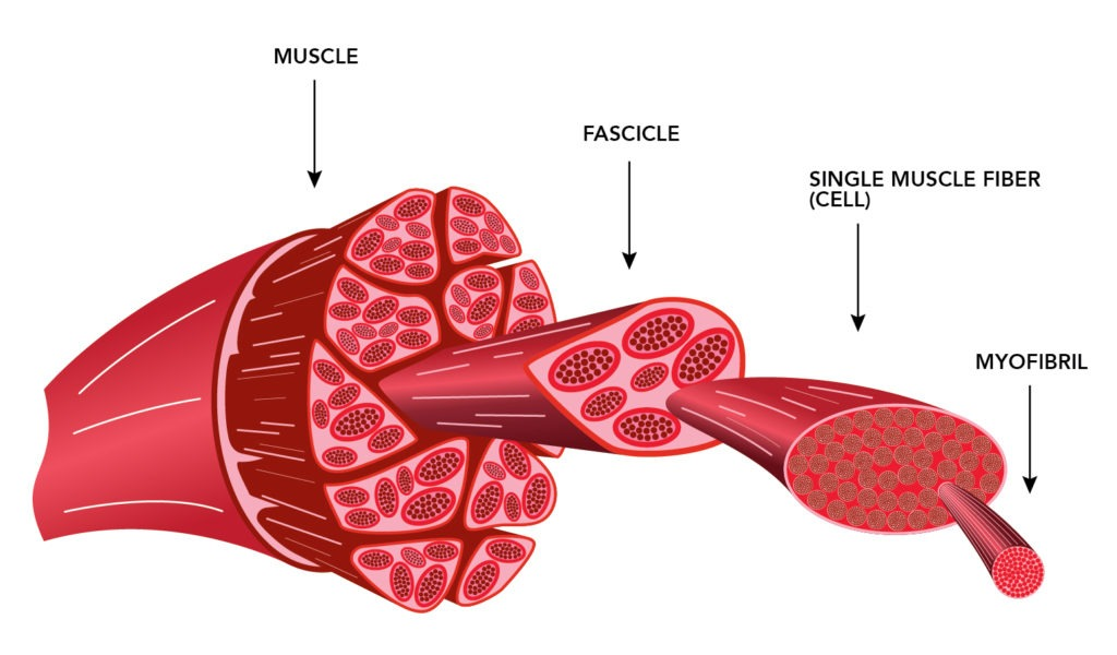 Illustration of expanded view of a muscle, fascicle, muscle fiber, and a myofibril.