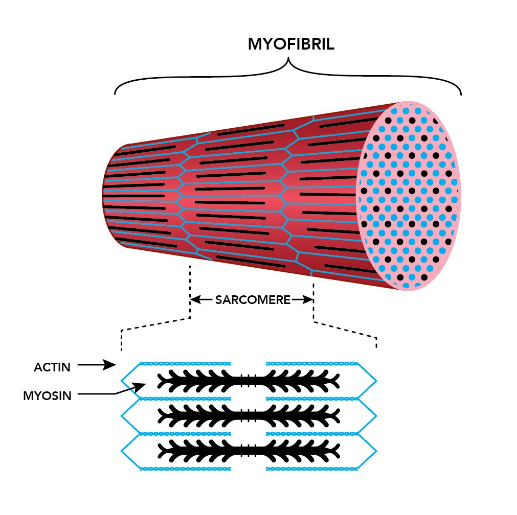 muscle_fiber_myofibril_closeup (1)