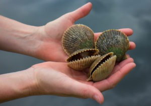 Scallops are free-swimming bivalves